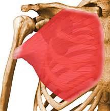 Musculation des pectoraux ceinture thoracique superphysique
