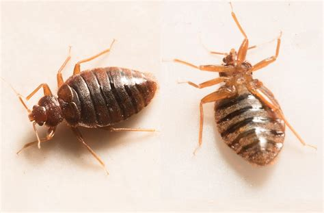 Bed Bugs In Ohio Bed Bug Bites Pictures Treatment And Prevention