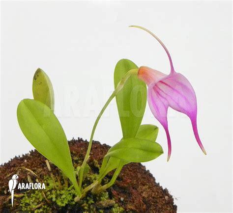 Panci Kalakat 40 Cm Orchid Limited 1 araflora flora more orchid masdevallia x pink