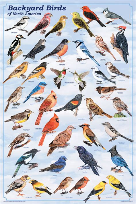backyard birds poster america usa pets educational