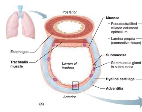 trachea transverse section activity 2 examinig prepared slides of trachea and lung