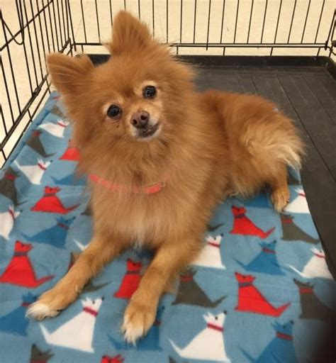 pomeranian animal shelter apple pomeranian s web page