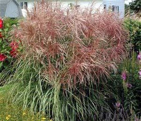 purple maiden grass a touch of green landscaping lockport il