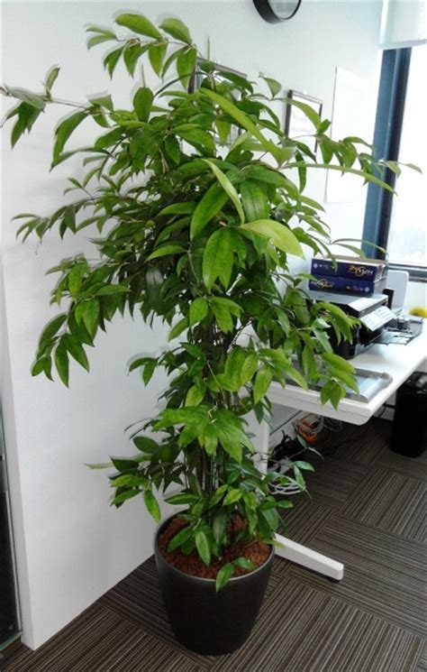 indoor japanese plants skyland gardening 187 office indoor plants