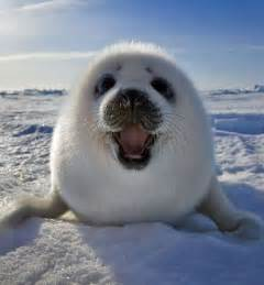 baby seal pup seal pups that will make you want to rip your hair out
