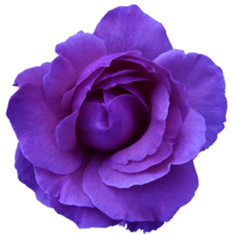 flower rose wild blue purple transparent free images at