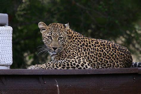 Gamis Leopard the return of a legend the leopard weblog
