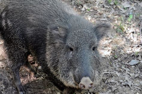 ecology conservation and management of pigs and peccaries books animal picture of the day the prehistoric peccary