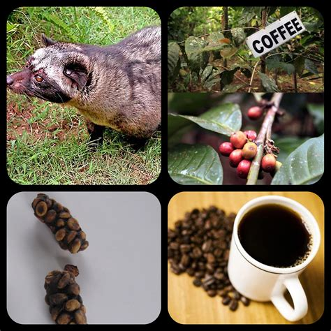 Luwak Coffee from civet to your cup kopi luwak ace of well being