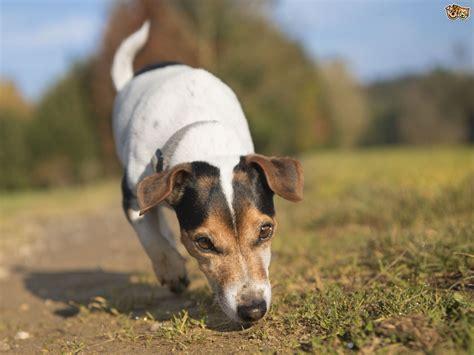 honing  dogs sense  smell petshomes