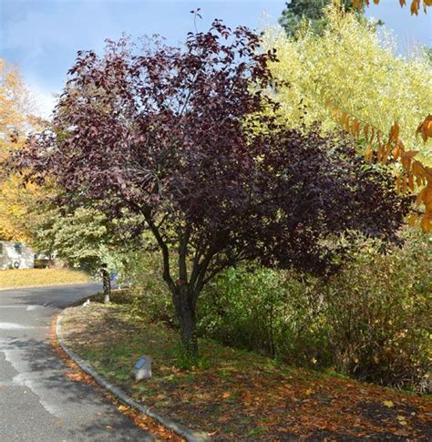 prunus cerasifera krauter vesuvius fruitless or nearly fruitless ornamental plum trees