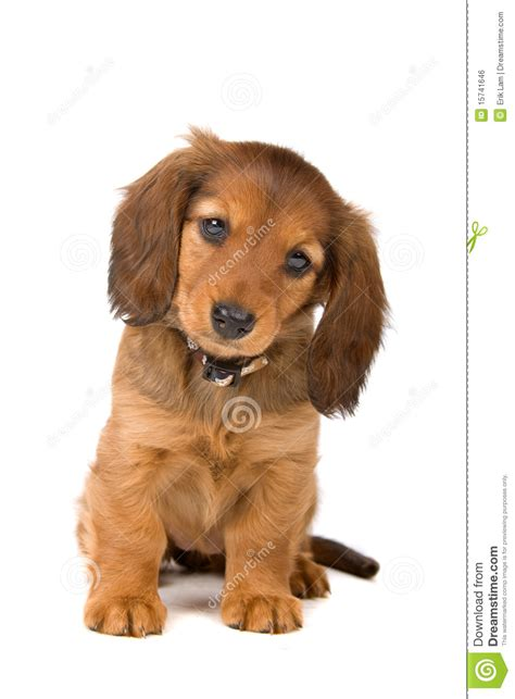 looking for free puppies dachshund puppy royalty free stock image image 15741646