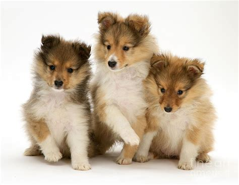 Difference Between Shower And Bath sheltie puppies photograph by jane burton