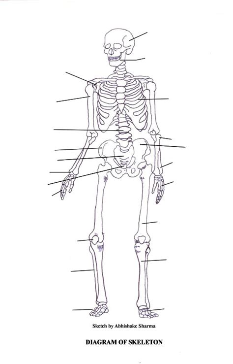 detailed skeletal system diagram labeled skeletal system diagram