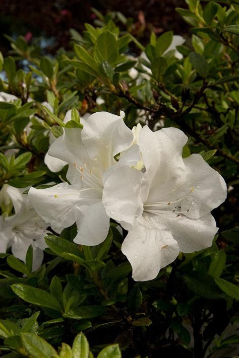 Azalea Shoo 16 best encore azalea flowers design by color images on