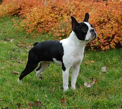 boston terrier pictures terrier terrier dogs pictures