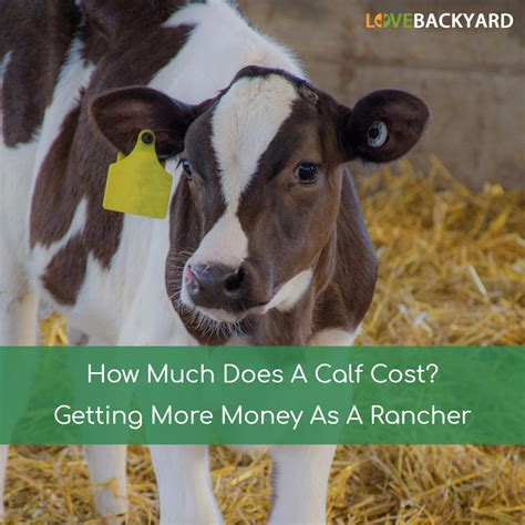 How To Raise Pigs In Your Backyard How Much Does A Calf Cost Getting More Money As A Rancher