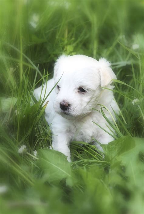 how much are maltipoo puppies beautiful maltipoo puppies for sale much wenlock shropshire pets4homes