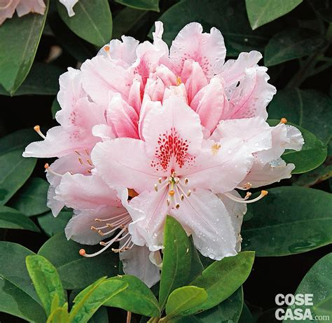 rododendro in vaso rhododendron albert schweitzer rododendro cose di casa
