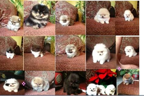 pomeranian puppies for sale in riverside ca white pomeranian puppies for sale los angeles southern california riverside ca