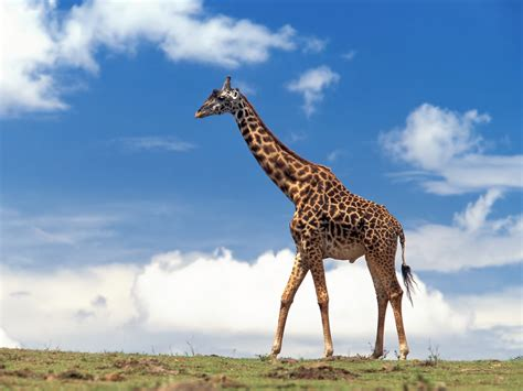 imágenes de jirafas bonitas giraffe hd wallpapers high definition free background