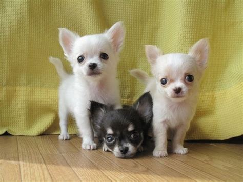chihuahua puppies ohio best 25 teacup chihuahua puppies ideas on teacup chihuahua chiwawa puppy
