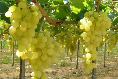 uva da tavola uva da tavola bisogna scommettere sulle nuove variet 224