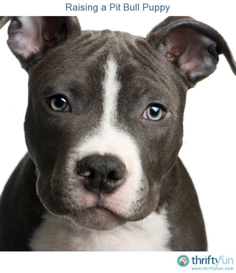how to raise a pitbull puppy a pit bull puppy thriftyfun