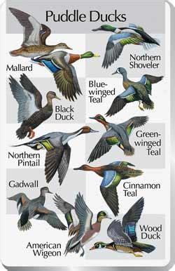 Colorado Blinds Waterfowl Identification Chart Waterfowl