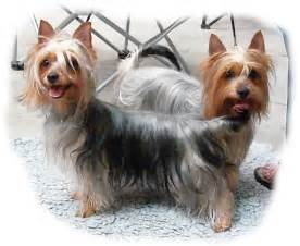 australian silky terrier dog breed all terrier dogs