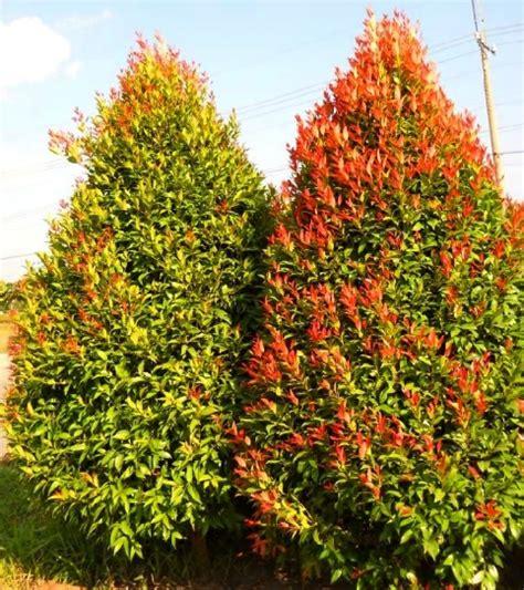 Teh Pucuk Ukuran Besar harga tanaman hias pucuk merah di cirebon www stewartflowers net