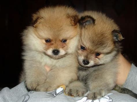 pomeranian world pomeranian photos dogbreedworld