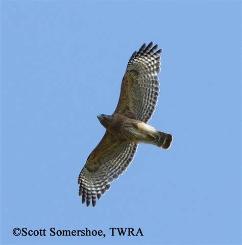 birding trails tennessee wildlife resource agency red