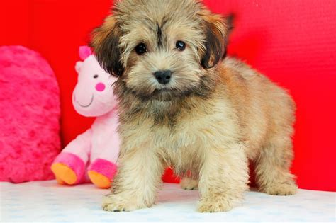 havanese massachusetts havanese breeds picture