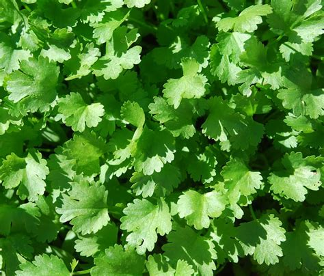 coriander cilantro cilantro coriander og foundroot
