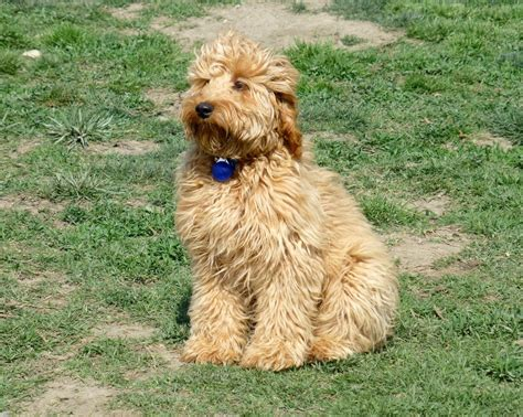 mini goldendoodles size the gallery for gt medium labradoodle grown