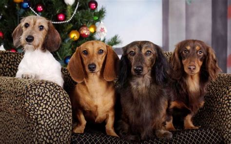 dachshund puppies missouri pictures of dachshund puppies with different coats breeds picture