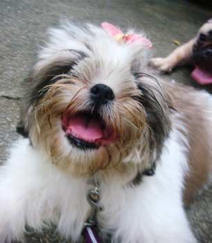 happy shih tzu shih tzu photos pictures shih tzus page 18