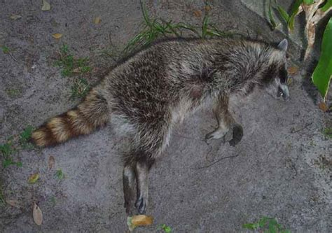dead raccoon in my backyard dead animal removal odor control in orlando florida