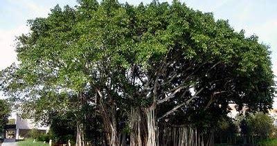 Jual Bibit Lada Perdu Medan cv mitra bibit tanaman beringin untuk penghijauan bumi