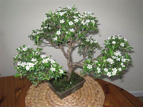 tipi di bonsai da interno fiori da appartamento piante appartamento come