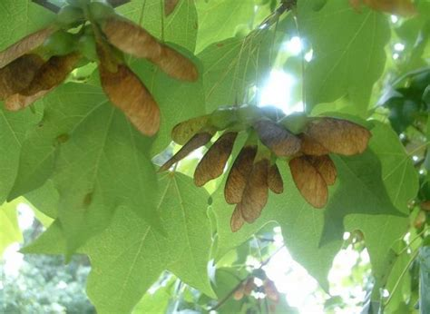 maple tree fruit maple tree fruit jpg hi res 720p hd