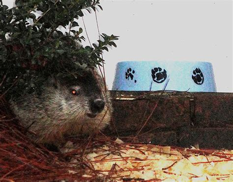 groundhog day utah groundhog day 2017 will there be an early