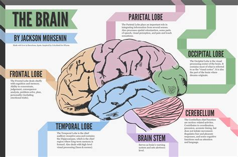 diagram of the and its functions brain and its function anatomy human