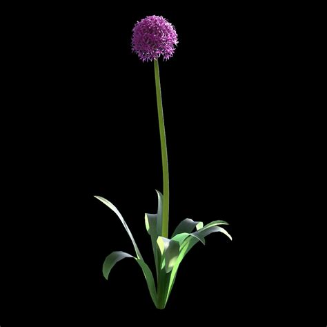 garlic flower garlic flower vizpark