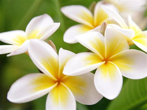 Hawaiian Flowers by Related Keywords Suggestions For Hawaiian Flowers