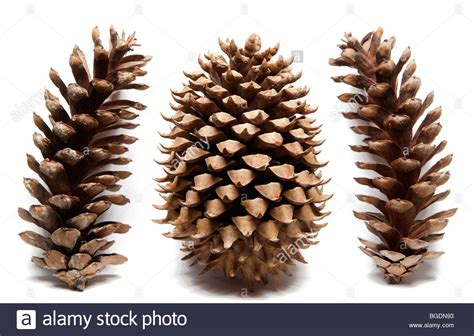 white pine cone coulter pine cone with eastern white pine cones on white