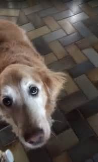golden retriever cancer hemangiosarcoma golden retriever who had a hemangiosarcoma told she s cancer free daily mail