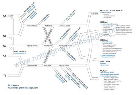 brachial plexus diagram brachial plexus anatomy pdf