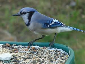 Porch Or Patio Difference Blue Jay Wild Delightwild Delight